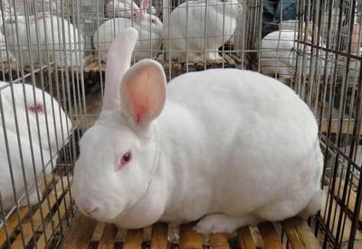 这是一张关于肉兔 3-5斤 的产品图片