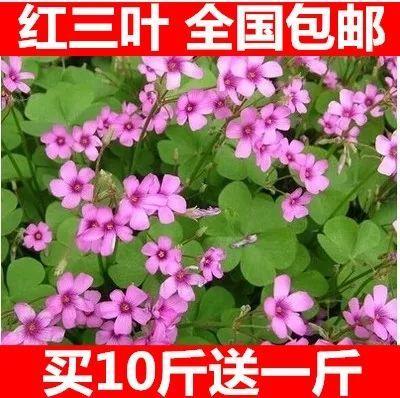 江苏省宿迁市沭阳县红三叶  三叶草绿化草坪种子