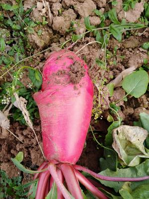 四川省绵阳市游仙区红皮萝卜 1.5~2斤
