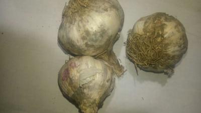 吉林省长春市农安县白皮大蒜 4.5-5.0cm 多瓣蒜