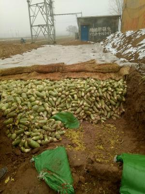 河南省开封市通许县白萝卜 1.5~2斤