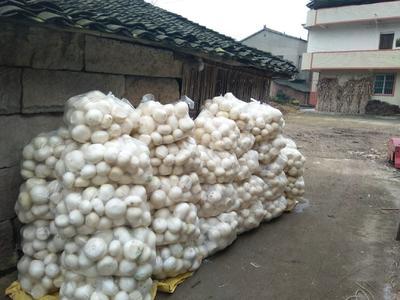 四川省广安市岳池县圆白萝卜 1~1.5斤