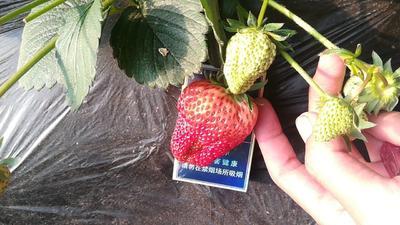 河北省秦皇岛市卢龙县九九草莓 30克以上