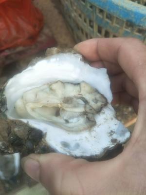 广东省珠海市香洲区珠海生蚝 野生 2-3两/只