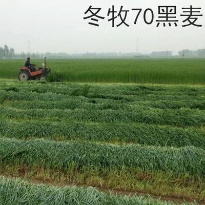 江苏省宿迁市沭阳县冬牧70种子  冬牧草种子南北方冬牧