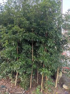 广西壮族自治区桂林市全州县金丝楠木