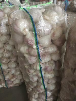 山东省济宁市金乡县红皮大蒜 5.5-6.0cm 多瓣蒜