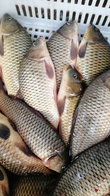 湖北省武汉市洪山区池鲤鱼 人工养殖 1-1.5公斤