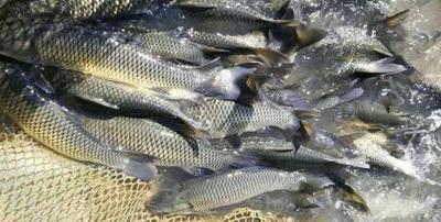 湖南省常德市汉寿县池塘草鱼 人工养殖 1-1.5公斤