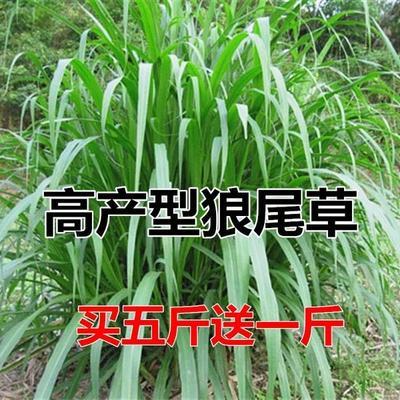 江苏省宿迁市沭阳县狼尾草种子  牧草种子南方多年生四
