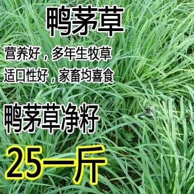 江苏省宿迁市沭阳县鸭茅种子  果树草种子 果园草种