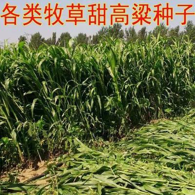 江苏省宿迁市沭阳县甜高粱种子  杂交种 ≥85% 大力士饲用甜高粱种子