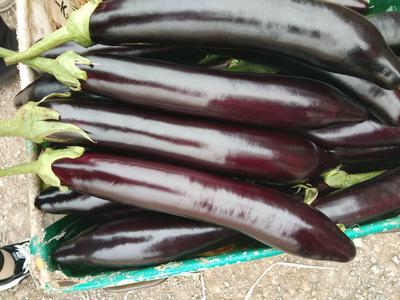 山东省日照市东港区紫长茄 30~40cm 长茄