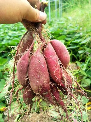 福建省泉州市安溪县紫罗兰紫薯 3两~6两
