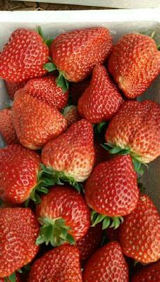 河北省保定市满城县九九草莓 20克以上