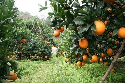 湖北省宜昌市秭归县秭归脐橙 55mm以下 4两以下