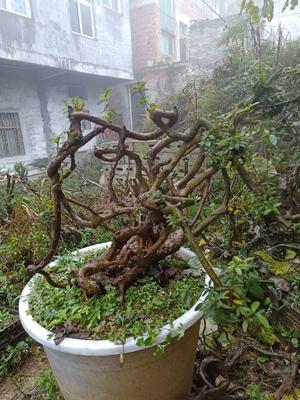 贵州省毕节市纳雍县高山杜鹃 1~1.5米