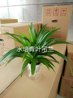 云南省昆明市呈贡区青叶吊兰 30cm以下
