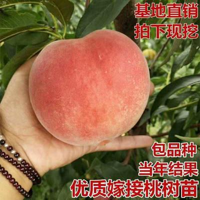 这是一张关于映霜红桃苗 0.5~1米 的产品图片