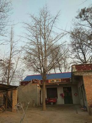 河南省开封市兰考县银杏实生树