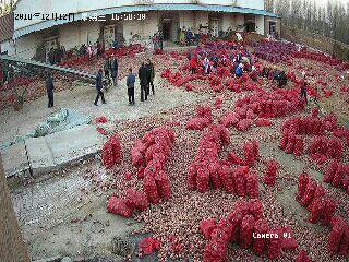 山东省济南市济阳县红皮大蒜 5~5.5cm 多瓣蒜