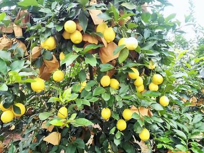这是一张关于黄柠檬 2.7 - 3.2两 的产品图片