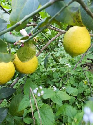 云南省红河哈尼族彝族自治州蒙自市尤力克柠檬 2.7 - 3.2两