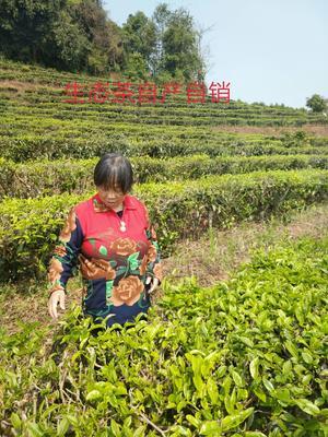 青海省西宁市城东区普洱白茶 一级 散装