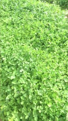 云南省普洱市景谷傣族彝族自治县大叶香菜 10~15cm