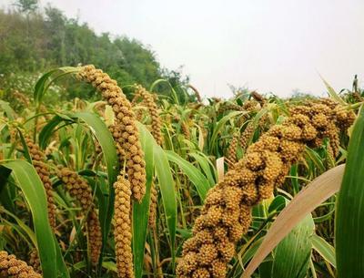 甘肃省张掖市甘州区有机小米