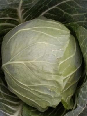 山东省青岛市莱西市日本绿球甘蓝 2.0~2.5斤