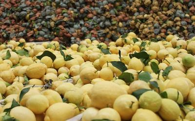 这是一张关于黄柠檬 1.6 - 2两 的产品图片