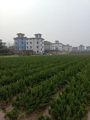 浙江省杭州市萧山区小龙柏