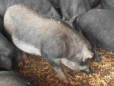 广西壮族自治区柳州市融水苗族自治县黑山猪 统货 80斤以上