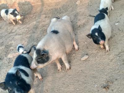 山西省太原市尖草坪区巴马香猪 20斤以下