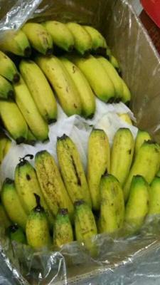 云南省红河哈尼族彝族自治州元阳县蛮耗香蕉 七成熟