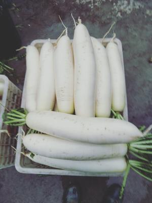 四川省乐山市五通桥区白萝卜 混装通货