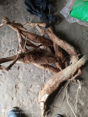江西省上饶市鄱阳县葛根干 12-18个月 双层塑料袋