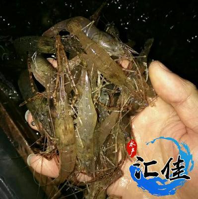 广东省广州市花都区河虾苗