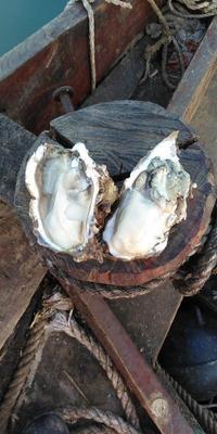 山东省威海市文登区威海牡蛎 人工殖养 2-3两/只