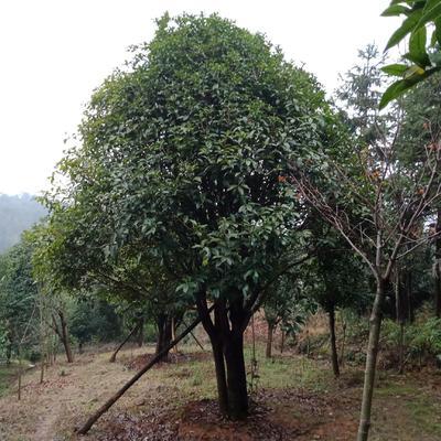广西壮族自治区桂林市全州县桂花树