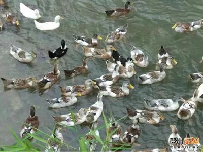 贵州省遵义市绥阳县土鸭蛋 食用 散装