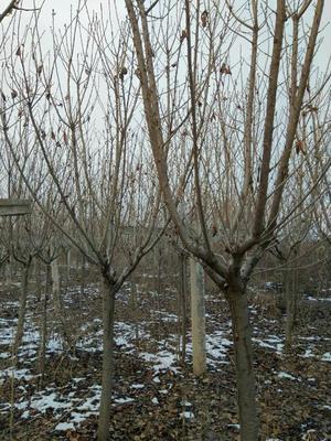 陕西省宝鸡市扶风县日本红叶樱花 4~6公分 2~3米