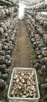 河南省南阳市西峡县剪柄香菇 箱装 1年以上