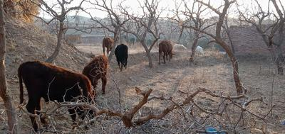 甘肃省白银市靖远县改良黄牛 200-300斤 公牛