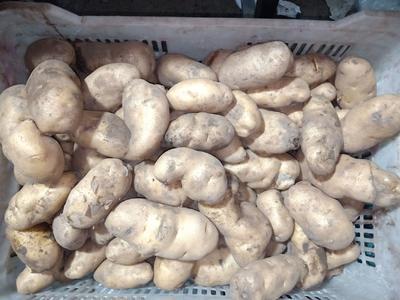 北京大兴区荷兰15号土豆 统货