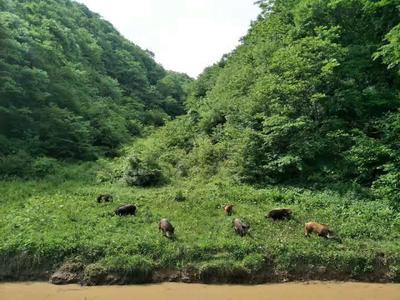 湖北省襄阳市保康县生态野猪 统货 100斤以上