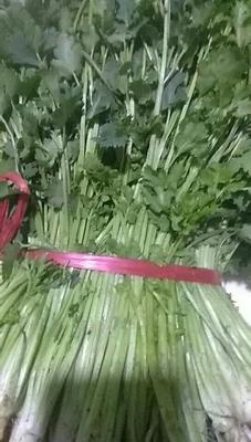 山东省东营市东营区小叶香菜 20~25cm