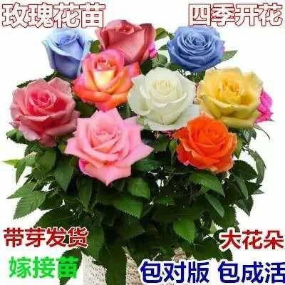 四季玫瑰  不成活免费补发