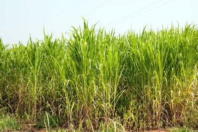 这是一张关于甜象草种子 的产品图片